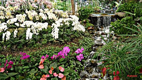 Orqu deas anturios cascada y otras en invernadero de for Jardines de anturios
