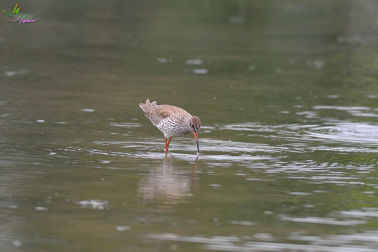Common_Redshank_3182