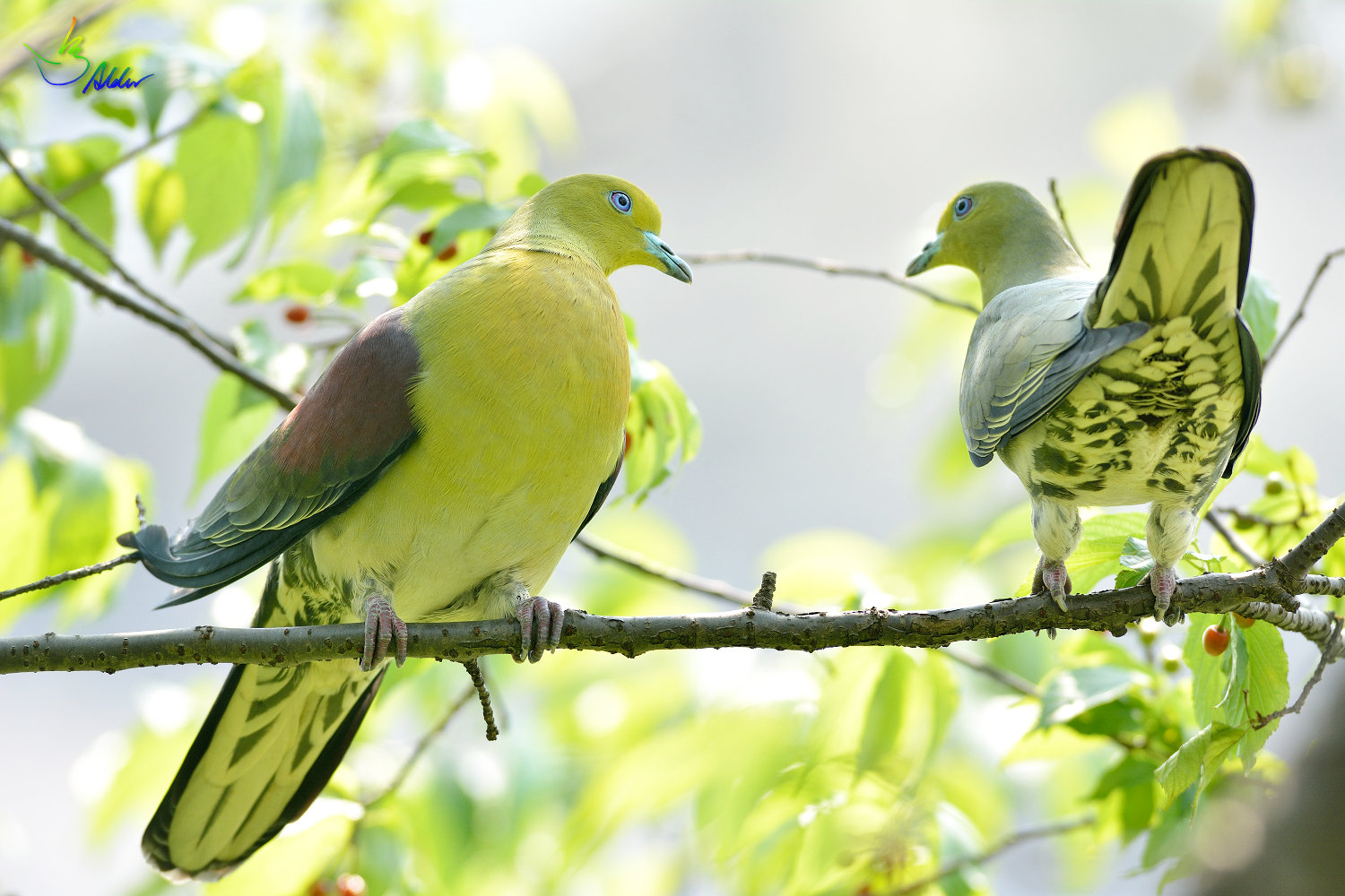 White-bellied_Green_Pigeon_6083