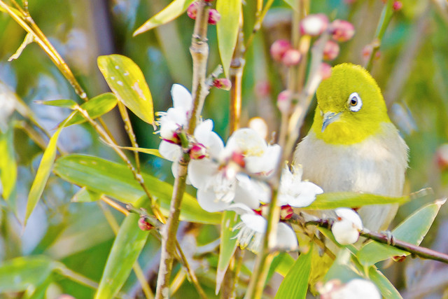 Japanese White-Eye and Plum Blossom : 梅にメジロ