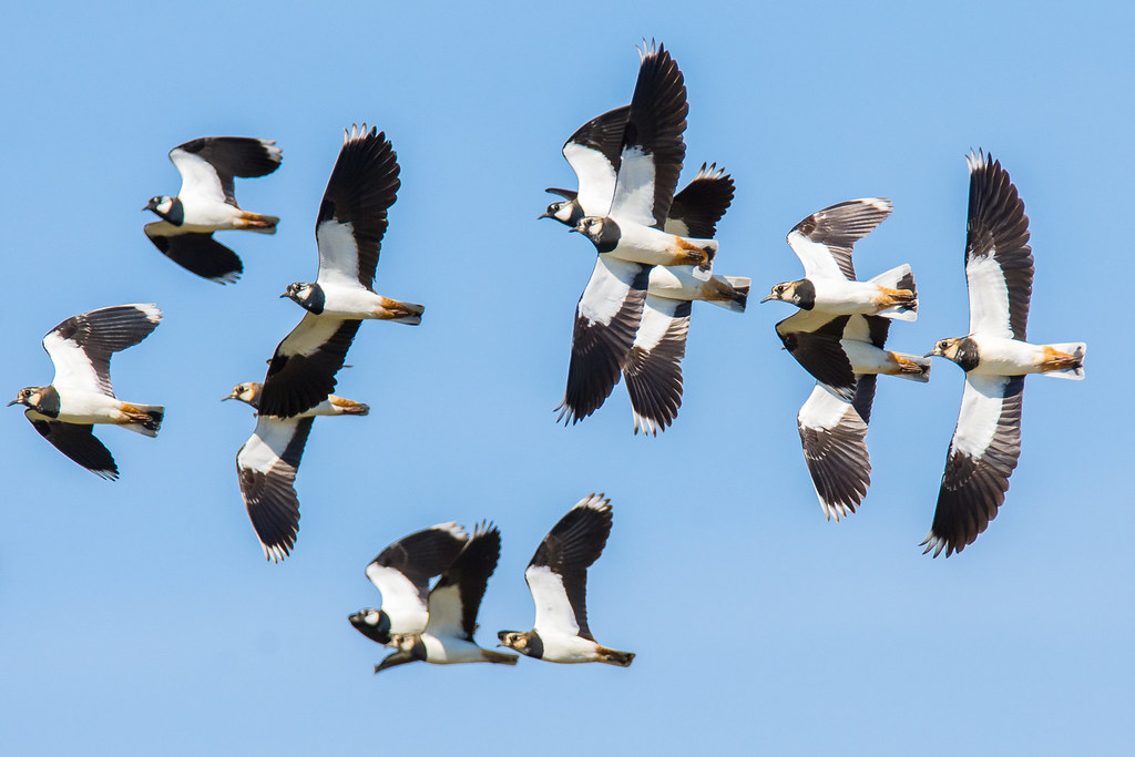 Pavoncelle - Northern lapwings