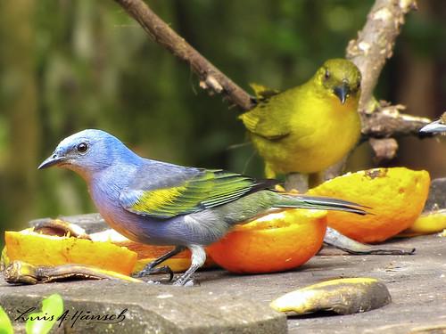 Espécie: Sanhaçu-de-Encontro-Amarelo