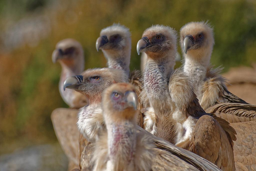 Vautour fauve (Gyps fulvus - Griffon Vulture)