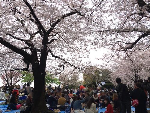 西郷山公園の桜 2016.4.3