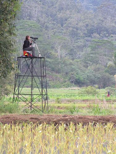 starr-130321-3558-Syzygium_cumini-habit_with_Julie_in_blind_scoping_wetland_birds-Hanalei_NWR-Kauai