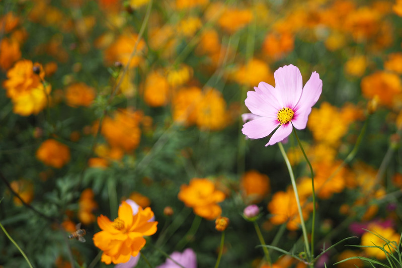 Cosmos Flowers|OLYMPUS E-M5 MKII MK2