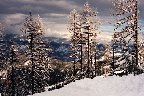Larch trees in the snow up on Fernie mountain