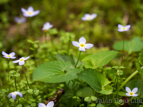 Bluets - Great Smoky Mountains - Val in Real Life
