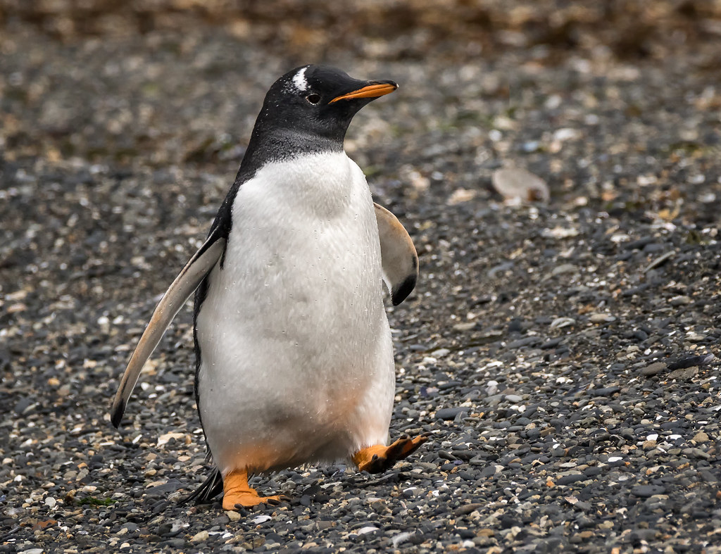 Gentoo Penguin stepping out