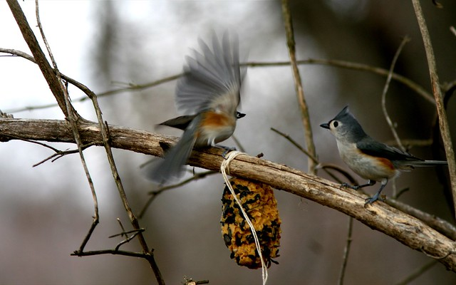 two tufted titmice