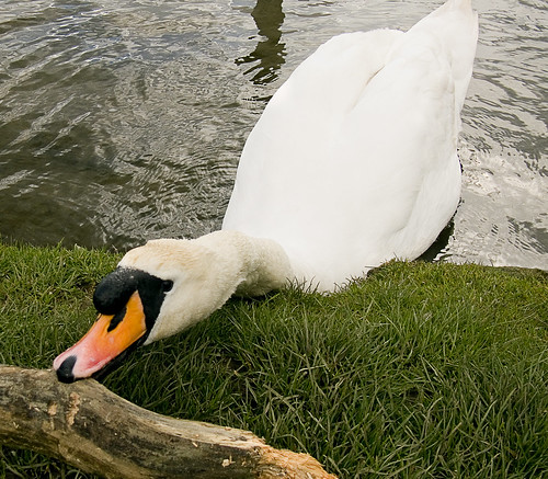 (A swan at) Butterley Res (April 2008 #2) | by Lazlo Woodbine