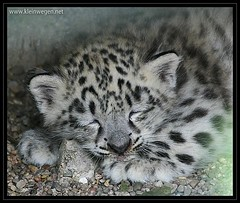 Schneeleopard schlafend  ...  sleeping snow leopard | by omk1