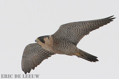 "Peregrine Falcon, Boundry Bay, Vancouver | by ""Out Shooting"" photos :)"