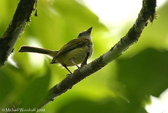 Yellow-olive Flycatcher | by Michael Woodruff