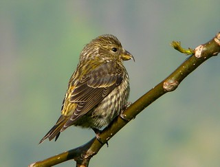 red crossbill-juvenile | by mikewiz