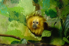 Potter Park Zoo Golden Lion Tamarin Monkey | by Mike'sPlace