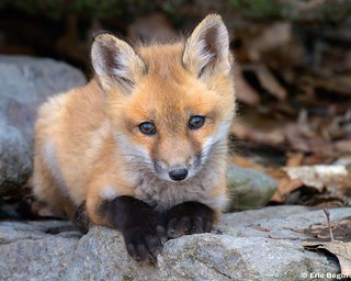 Red fox pup ( wild ) | by Eric Bégin