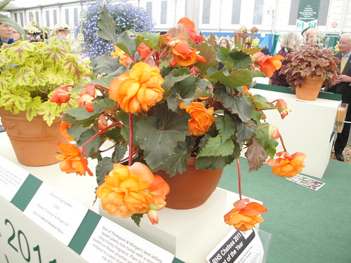 Begonia Apricot Fragrant Falls habit | by RHR Horticulture