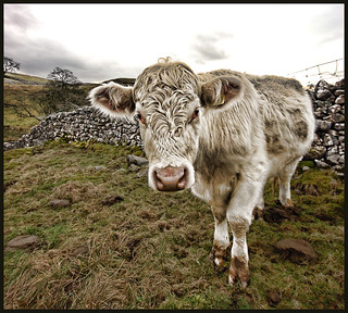 HDR Cow | by Paul Stevenson