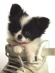 Papillon Puppy in a Shoe | by zaeyde