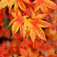 japanese maple fall | by paul+photos=moody
