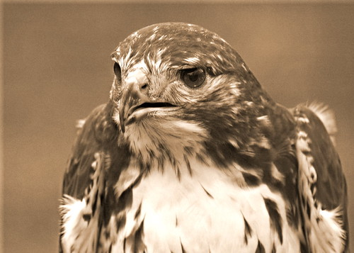 Red Tailed Hawk - Sepia version | by Dan Sutton