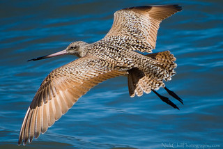 Godwit Glide | by Nick Chill Photography