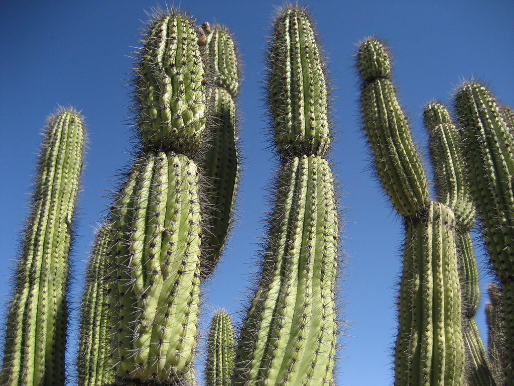 Close up of organ pipe cactus