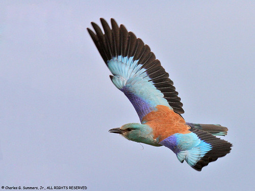 Eurasian Roller with wings spread in flight IMG_9761 | by WildImages