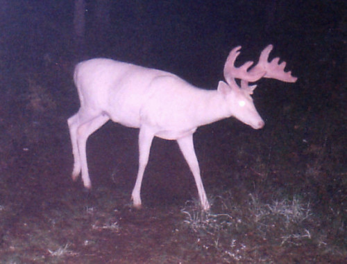 "Albino Whitetail Deer ""Ghost of the Darkness"" 