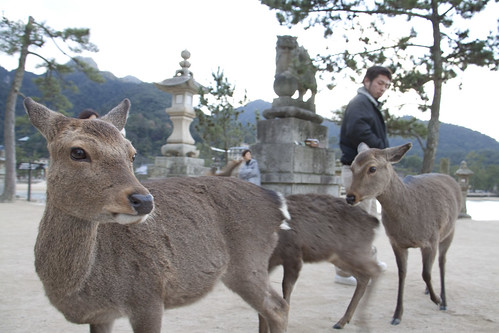 Deers in Japan | by francescovitale