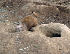 Black Tailed Prarie Dog | by Just chaos
