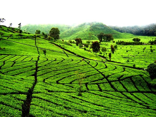 Bandung Tea Plantation