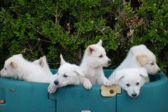 White German Shepherd Puppies | by Corey Hoffman