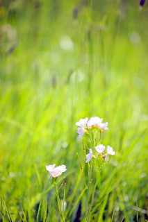 Memories of a spring meadow | by onceawildchild