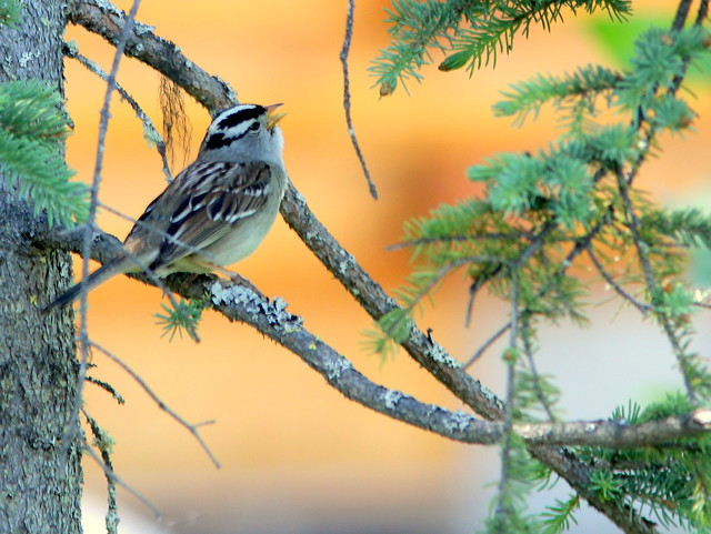 White-crowned Sparrow 20110617