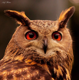 Owl portrait | by ariflickrs