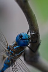 Blue Dragonfly 1 | by theubersquid