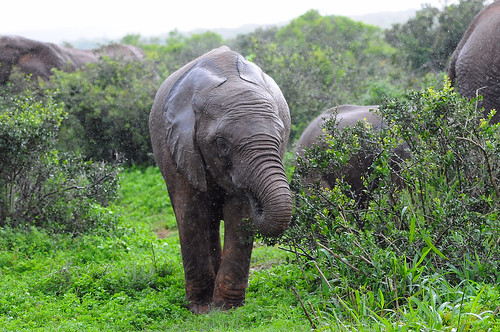 Elephant in the rain - Addo Elephant NP - South Africa | by bart coessens