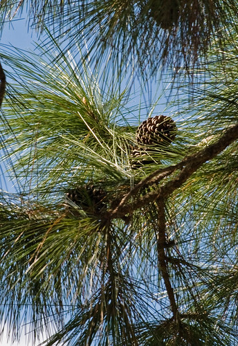 Long leaf pine cones pine cones in a long leaf pine tree for Long pine cones