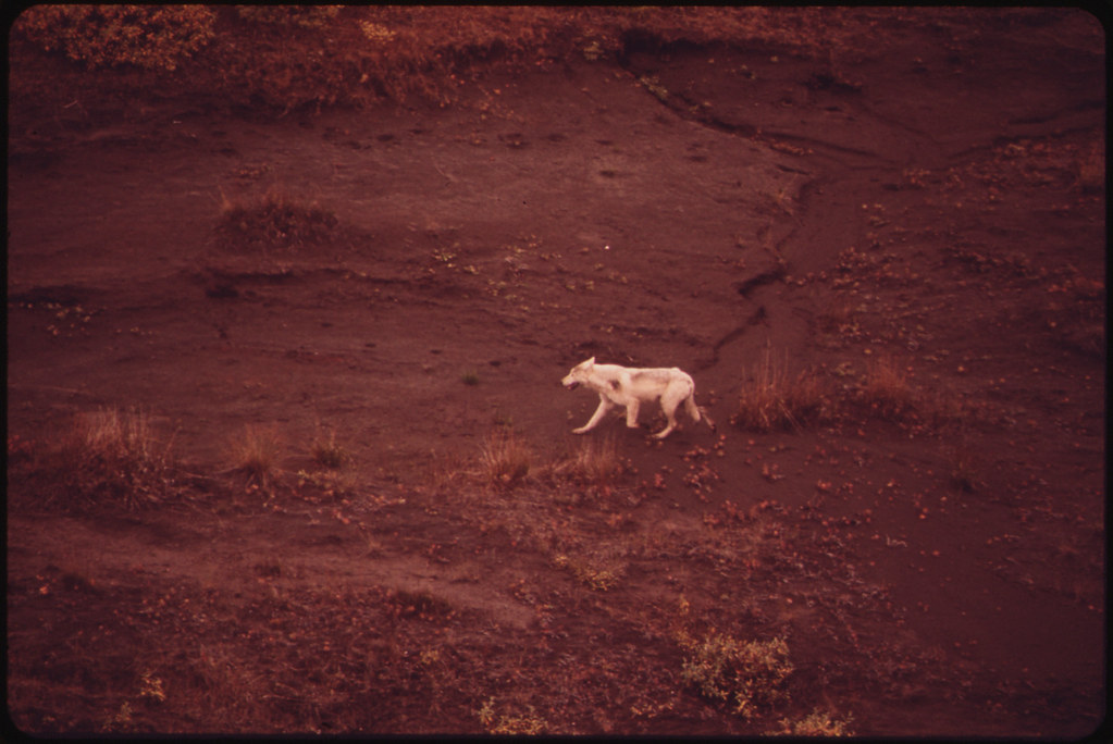 Silver-White Wolf in the Atigun Valley. Wolves Are Found in Isolated Areas Along the Entire Pipeline Route...08/1973 | by The U.S. National Archives