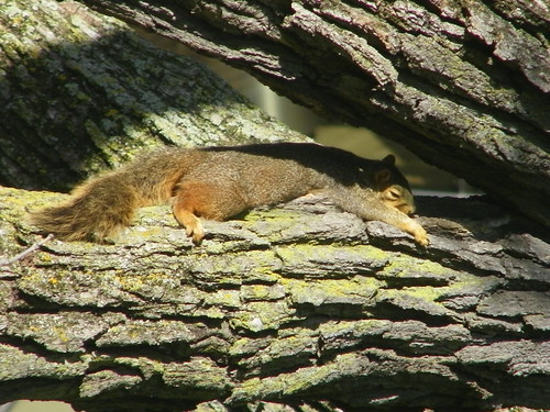 Squirrel in a Tree Next to Kresge Library (University of Michigan) | by cseeman