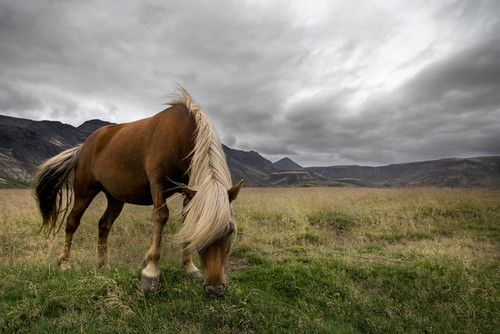 Icelandic horse | by pas le matin