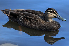 Black Duck on Blue