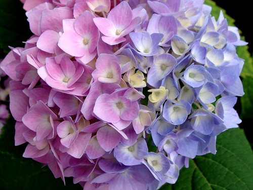 pink and blue hydrangea | by Martin LaBar
