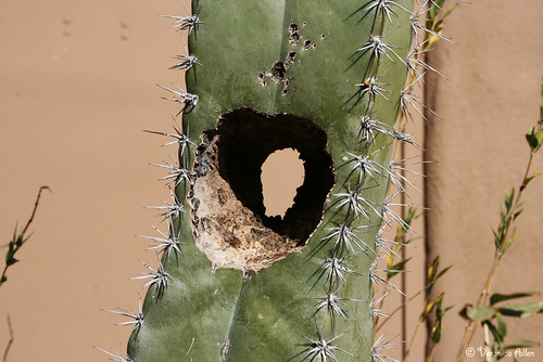 Life in a Cactus | by veronicatheshutterbug