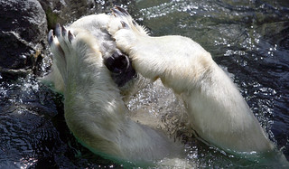 Polar bear | by floridapfe