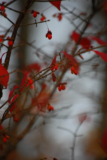 Euonymus alatus- Winged Burning Bush | by sheryl2010