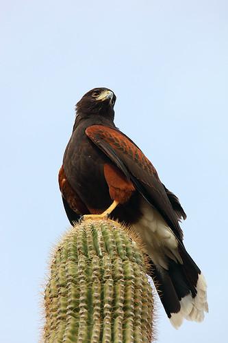King Hawk on his Saguaro Throne