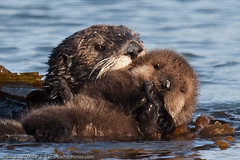 Sea Otter Mother with Pup Beside Morro Bay CA 14 Dec 2009 | by mikebaird